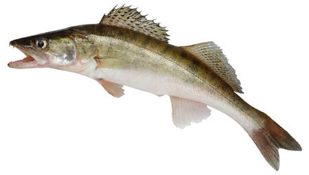 Zander fish isolated. Pike perch river fish on white background