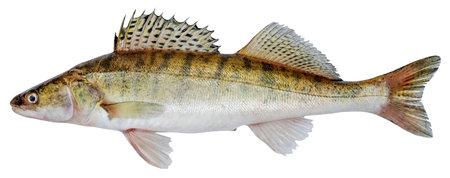 Zander river fish. Pike perch fish isolated on white background Stockfoto