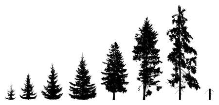 Life process of growing fir tree from low tree to stump, silhouette. Growth spruce tree. Vector illustration
