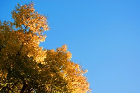 peaking: A hackberry tree peaking against a bright blue sky