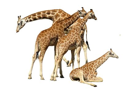 Giraffe family on white background