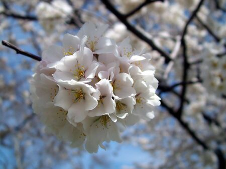 First cherry blossoms opening up in the spring Imagens