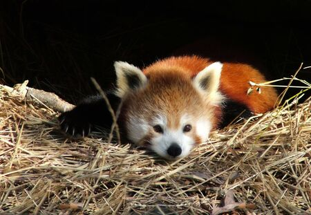 View of a resting red panda cub photo