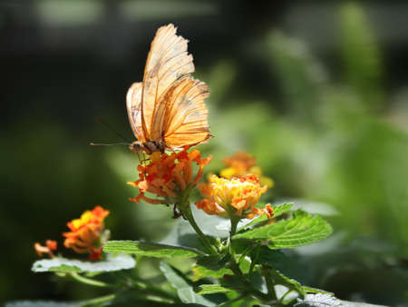transient: Close up shot of julia butterfly (dryas iulia) on a flower