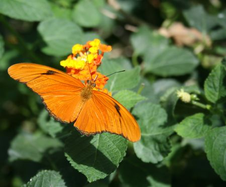 Close up shot of julia butterfly (dryas iulia) on a flower photo