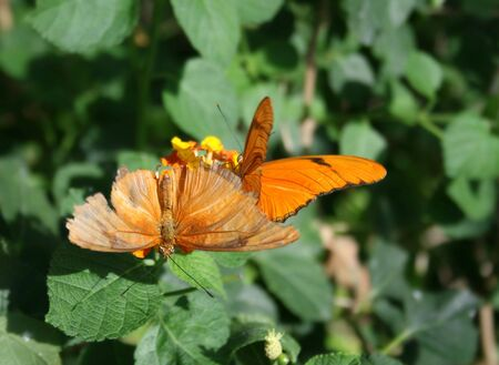 Close up shot of two julia butterflies (dryas iulia) on a flower photo