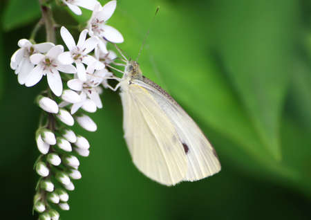 transient: Macro shot of a cabbage butterfly on a flower stem Stock Photo
