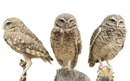 Three burrowing owls (Athene cunicularia) over white Stock Photo