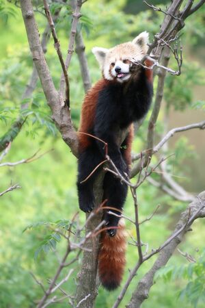Rare shot of a red panda resting on a tree branch