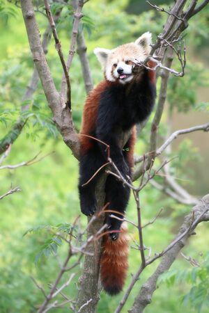 Rare tir� d'un panda rouge pos� sur une branche d'arbre Banque d'images