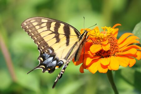 Swallowtail butterfly on an orange flower, macro close up photo