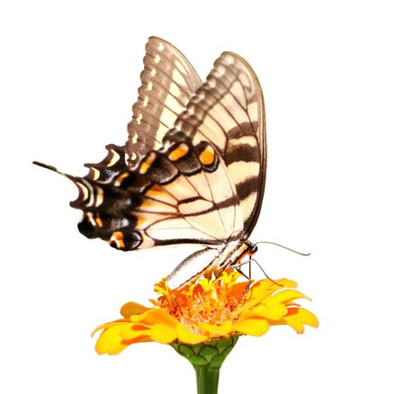 Macro shot of a swallowtail butterfly on a bright flower isolated over white