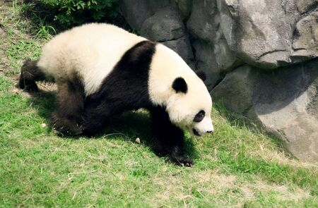 extinction: View of a young panda bear walking. Image could represent conservation efforts, danger of extinction, uniqueness Stock Photo