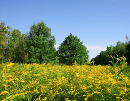 Meadow of bright yellow flowers against blue sky and bright green forest Stock Photo - 1600854