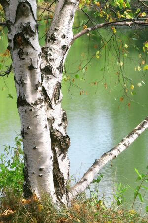 Birch tree leaning over a lake