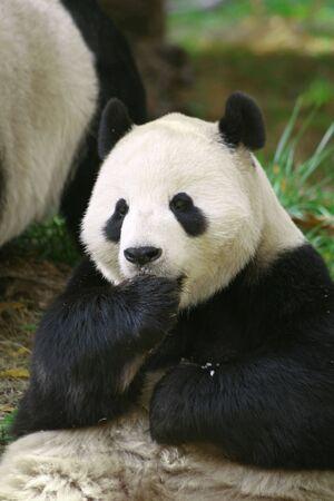 Ours panda adulte, de repos et de manger une collation