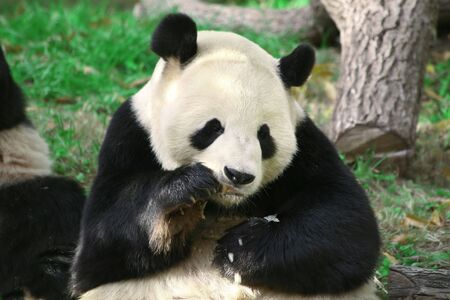 Adult panda bear, resting and eating a snack