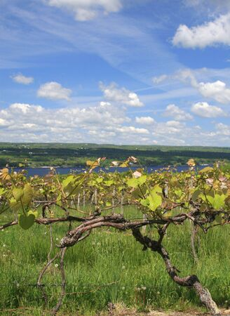 VIew of a vinyard, wine making industry, across from the Keuka Lake, one of beautiful finger lakes in upstate New York