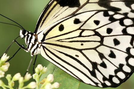 Stunning macro of a black and white butterfly (Idea Leuconoe) also known as a rice paper butterfly or kite butterfly on green