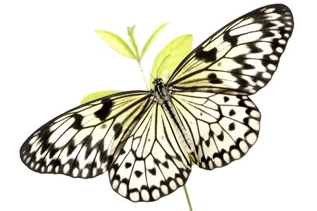 Stunning macro of a black and white butterfly (Idea Leuconoe) also known as a rice paper butterfly or kite butterfly isolated on white background