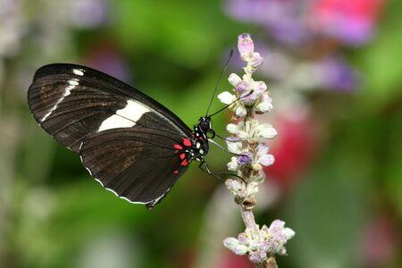 Macro du papillon Heliconius atthis sur fleur rose Banque d'images - 5518296