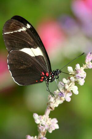 Macro du papillon Heliconius atthis sur fleur rose Banque d'images - 5518325
