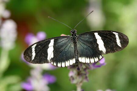 Macro du papillon Heliconius atthis sur fleur rose Banque d'images - 5518283