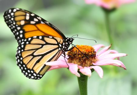Macro of monarch butterfly on pink flower