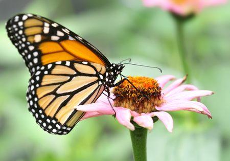 Macro van monarch vlinder op roze bloem