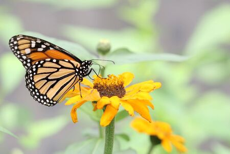 Monarchy butterfly (Danaus plexippus) on yellow flower against light green background Imagens