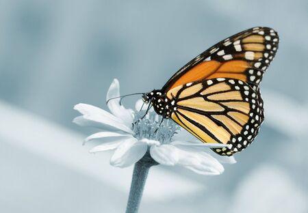 danaus: Monarchy butterfly (Danaus plexippus) on blue background Stock Photo