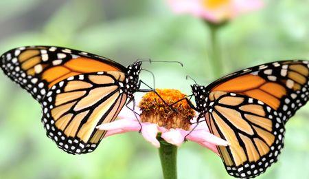 Deux papillons de monarque (Danaus plexippus) sur une fleur rose