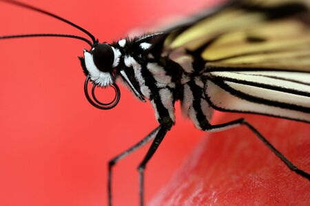 Stunning macro of a black and white butterfly (Idea Leuconoe) also known as a rice paper butterfly or kite butterfly on bright red background Фото со стока