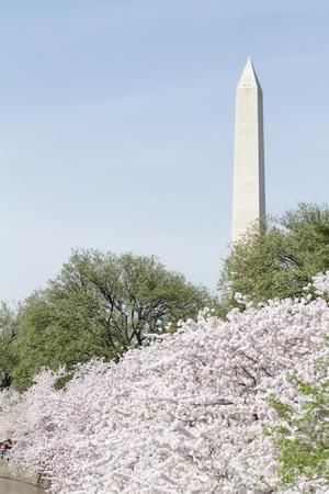 Cherry Blossoms in Washington DC, view of the Washington Monument Фото со стока