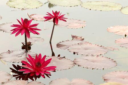Belle fleur de n�nuphar en fleur, aquatique jardin, l'�t�