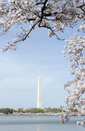 spring tide: Cherry Blossoms around the Tidal Basin in Washington DC, view of the Washington Monument