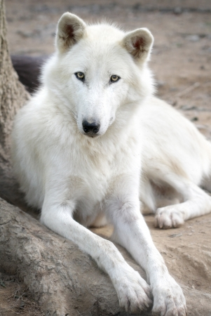 Close up portrait of a white wolf photo