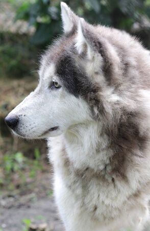 timber wolf: Close up portrait of a timberwolf