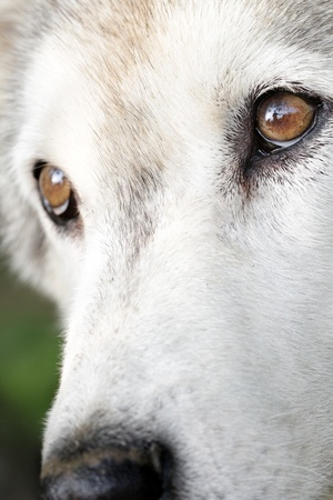 wolf eyes: Close up portrait of a white arctic wolf