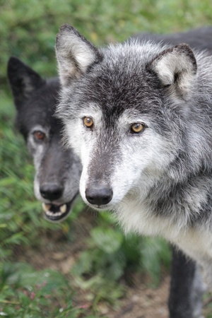 Close up portrait of two wolves