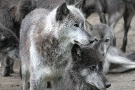 White, arctic wolf in a pack of timberwolves photo