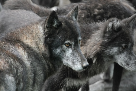 untamed: Unique shot of a pack of wolves, close up