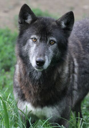 untamed: Close up portrait of a timberwolf