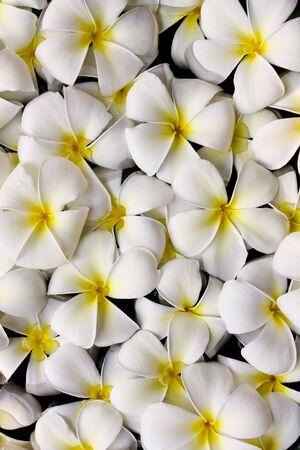 primavera: Beautiful Thai Flower