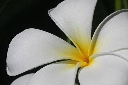 primavera: White pure flower in the garden