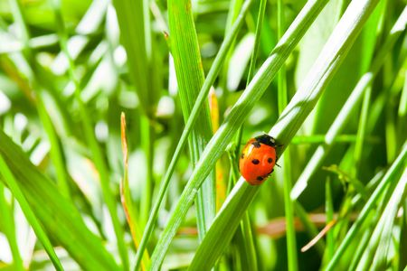 Ladybird climb on the grass