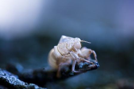 Cicada Stock Photo - 10749376