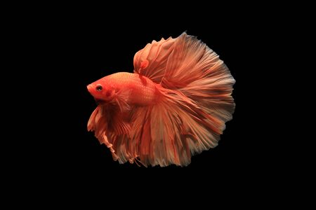 fire fin fighting: Orange siamese fighting fish isolated on black background Stock Photo