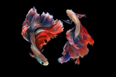 Dual betta fish isolated on black background.  Mascot double tail  Ballerina betta fish 스톡 콘텐츠