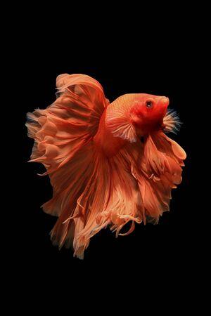 fire fin fighting: Orange siamese fighting fish isolated on black background.Ballerina betta fish
